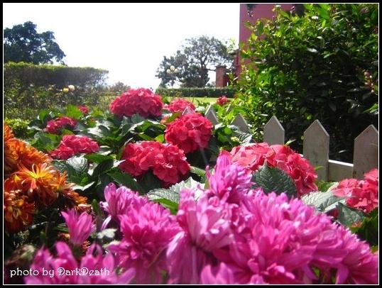 紅通通的紫陽花