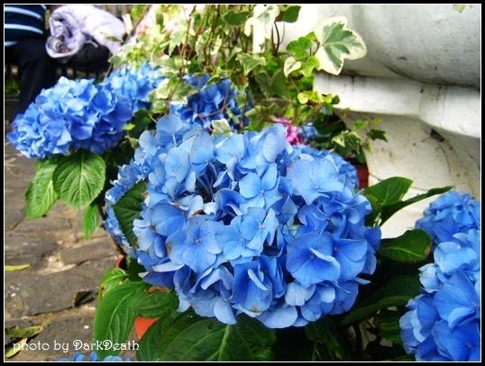 藍色的紫陽花