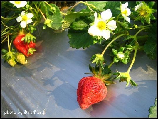 艷陽下的草莓