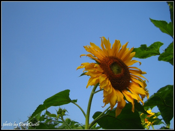 古坑休息站的向日葵