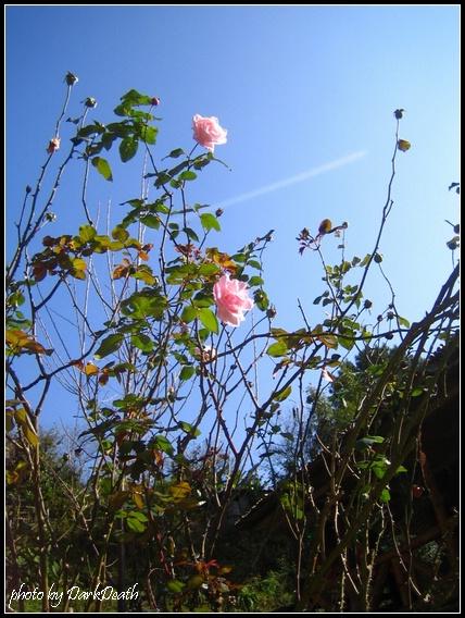 高聳的玫瑰花