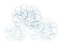 白牡丹白背景