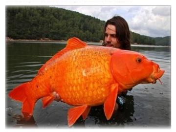 14公斤大金魚001