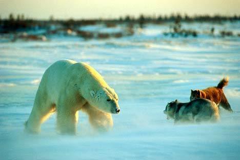 哈士奇遭遇北極熊001.jpg