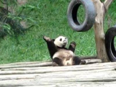 貓熊扭肩搖擺、跳舞狂歡