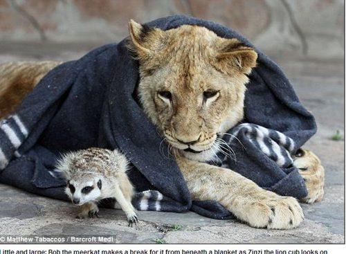 小獅子與狐獴004.jpg