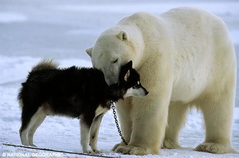 哈士奇遭遇北極熊003.jpg