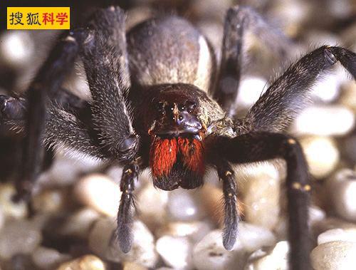 巴西漫遊蜘蛛.jpg