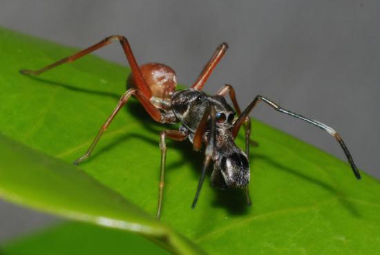 黑腳螞蟻蜘蛛.jpg
