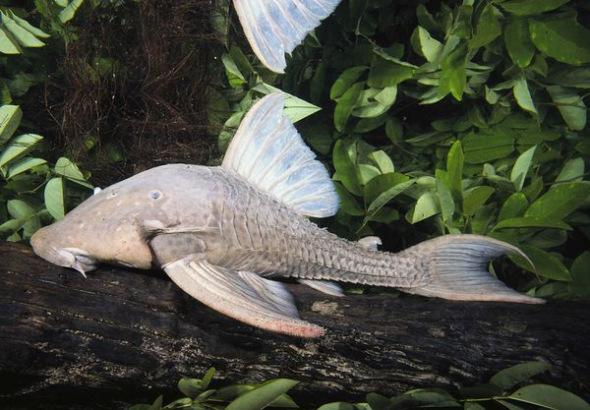 食木甲鯰魚001.jpg