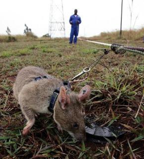 非洲探雷鼠001.png
