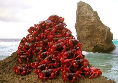 澳洲百萬紅蟹大遷徙002