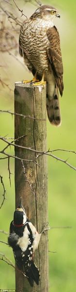啄木鳥死裏逃生