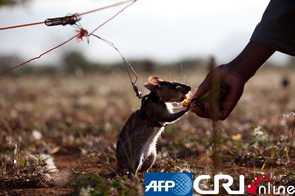 非洲探雷鼠007.jpg