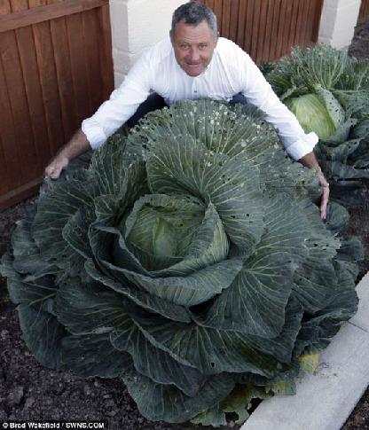 高達1.5公尺洋白菜.jpg