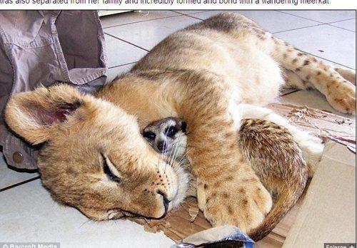 小獅子與狐獴001.jpg