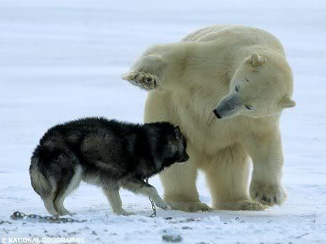 哈士奇遭遇北極熊002.jpg