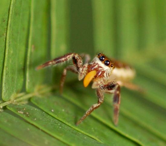 素食蜘蛛.jpg
