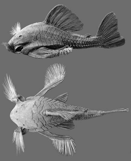 食木甲鯰魚005.jpg