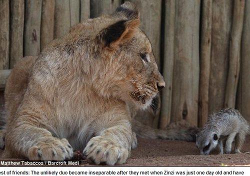 小獅子與狐獴003.jpg