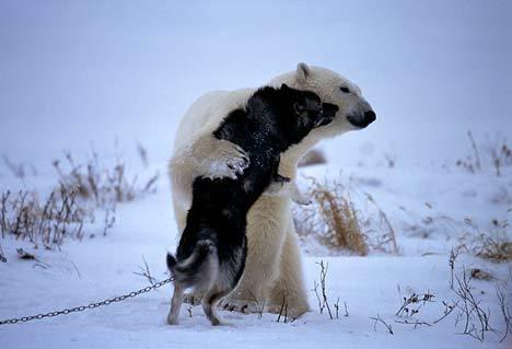 哈士奇遭遇北極熊004.jpg