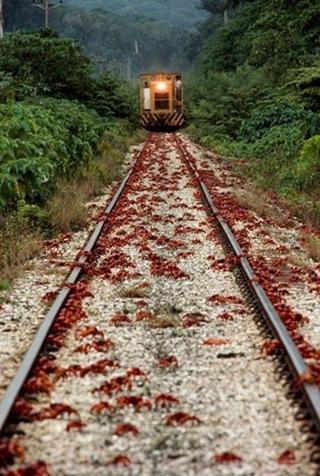 澳洲百萬紅蟹大遷徙005