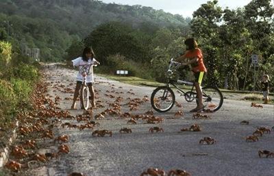 澳洲百萬紅蟹大遷徙003