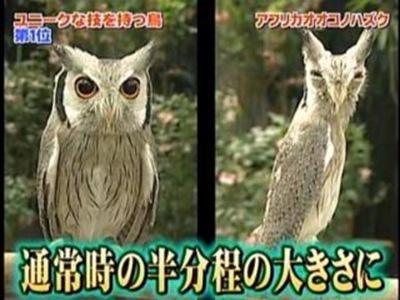 變形貓頭鷹