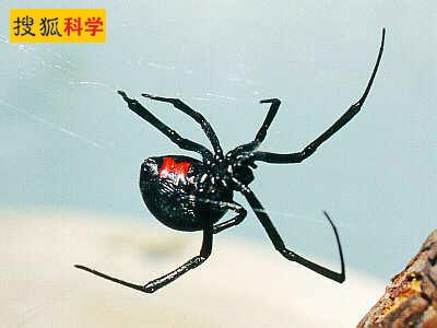 黑寡婦蜘蛛.jpg