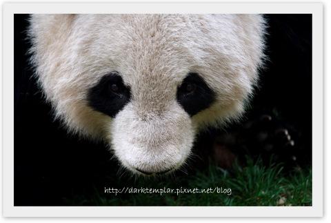 110411 Chengdu Panda Carnival.jpg