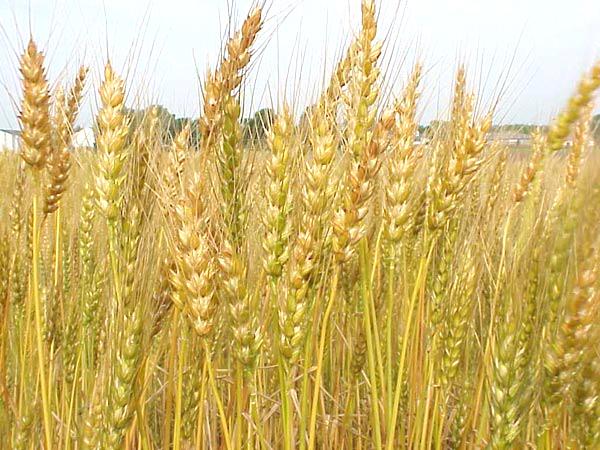 小麥.jpg