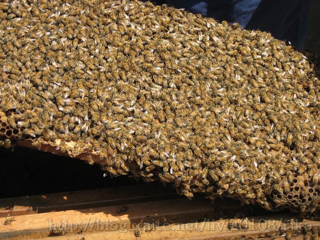 蜂群過冬.jpg