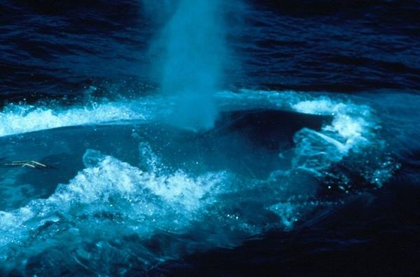 藍鯨呼吸時造成的水柱.jpg