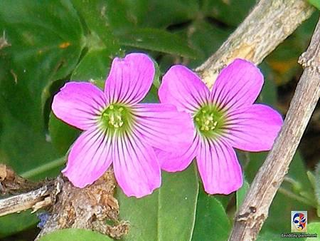 32-1黃花紫花酢醬草1