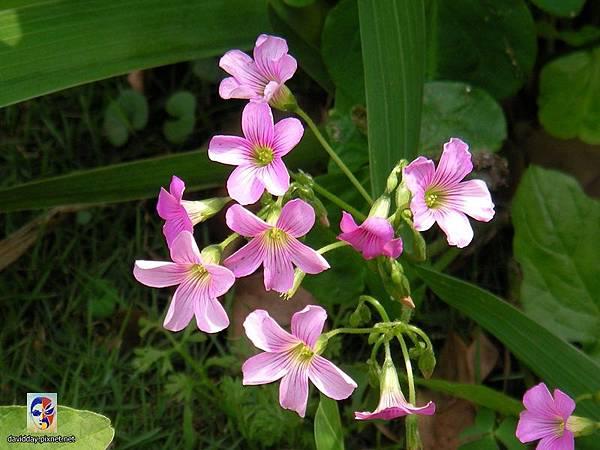 32-5黃花紫花酢醬草2