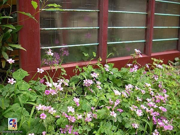 32-3黃花紫花酢醬草5