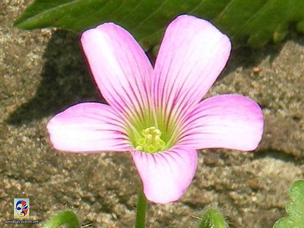 32-10黃花紫花酢醬草6