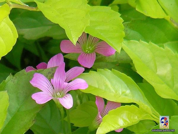 32-19黃花紫花酢醬草30