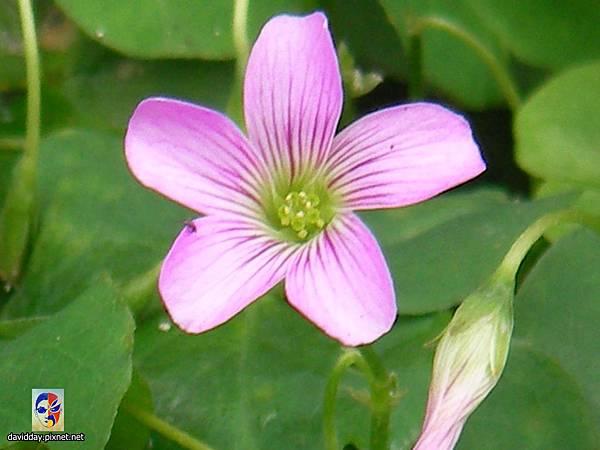 32-16黃花紫花酢醬草15
