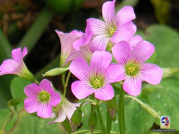32-15黃花紫花酢醬草22