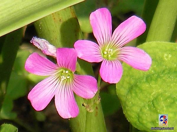 32-18黃花紫花酢醬草31