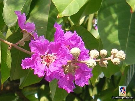 42-1紫薇的美麗哀愁