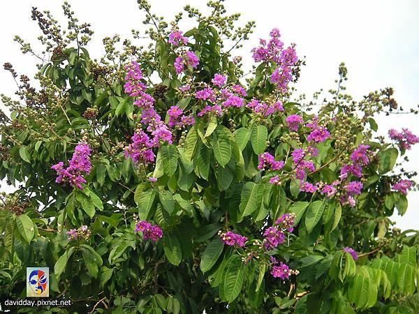 42-11紫薇的美麗哀愁