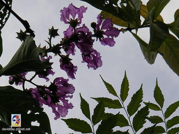 42-42紫薇的美麗哀愁