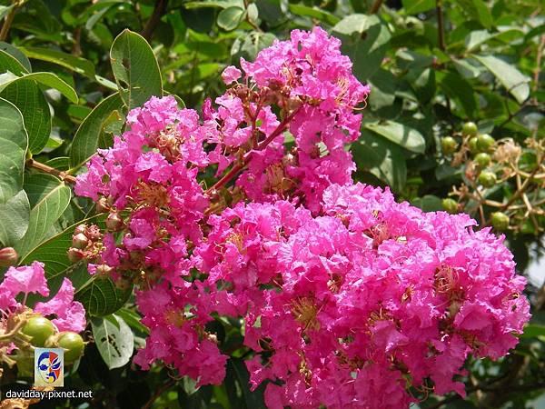 42-16紫薇的美麗哀愁