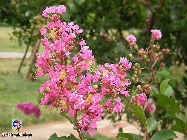 42-21紫薇的美麗哀愁
