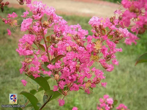 42-17紫薇的美麗哀愁