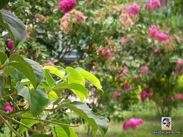 42-24紫薇的美麗哀愁