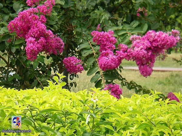 42-15紫薇的美麗哀愁