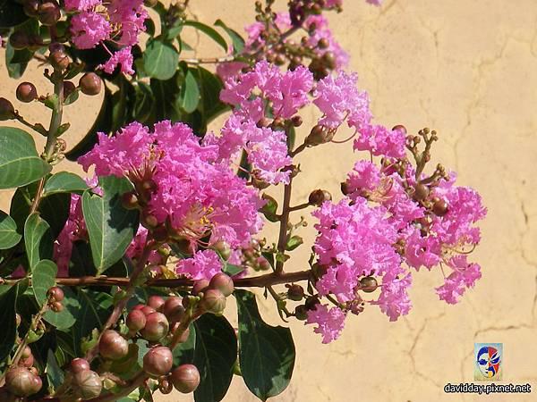 42-23紫薇的美麗哀愁